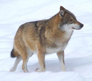 wolf,_voor_de_natuur,_saxifraga_-_jan_nijendijk.5097-1